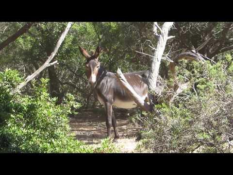 Cyprus wild donkeys (Equus asinus) Γαϊδούρι. - Γάρος - Καρπασία - Cyprus