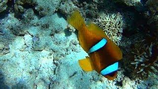 Red Sea Snorkeling. May 2014. Clownfish.