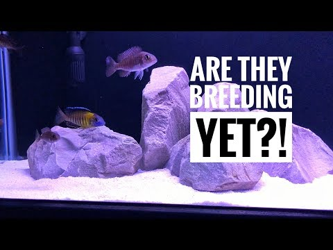 ALL MY AFRICAN CICHLIDS! | ARE THEY BREEDING YET!?