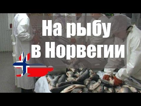 Работа на рыбе в Норвегии, уход за престарелыми, дешевое жильё в Норвегии