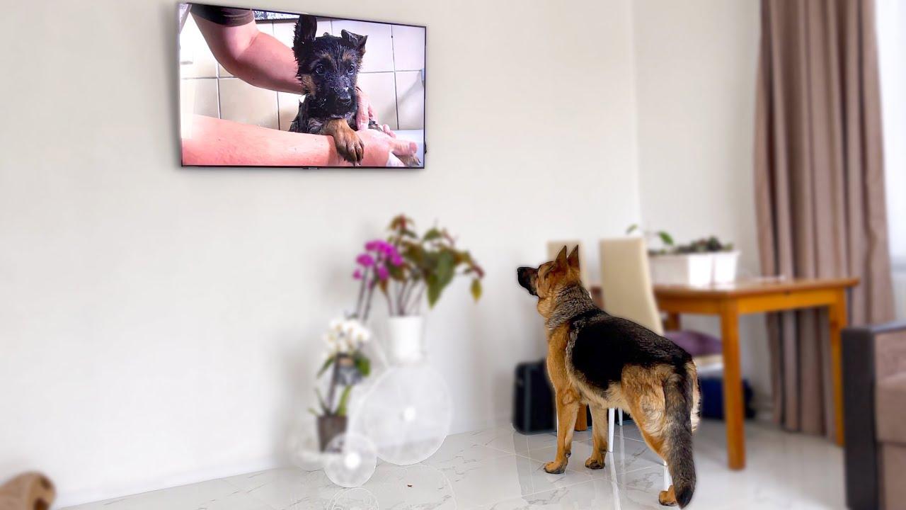 Shocked German Shepherd Recognises Himself On TV!