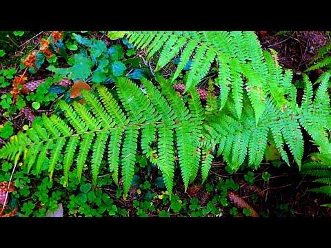 Папоротник в Лесу. Лесной Папоротник. Видео с Папоротниками. Футажи для видеомонтажа