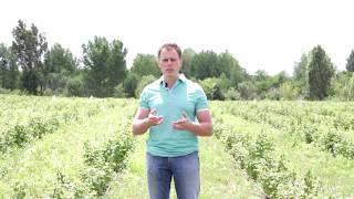 видео Выращивание малины от А до Я - секреты фермеров | Ягодный сад, или прикладное садоводство в советах, вопросах и ответах