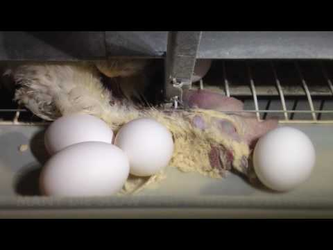 You Won't Believe How Eggs Are Made