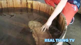 Rare Giant Salamander captured