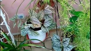 Королевская бегония - сажаем проще простого(Королевская бегония - неприхотливое комнатное растение. Ценится она за красоту своих листьев. Сажаем проще..., 2016-08-04T09:26:21.000Z)