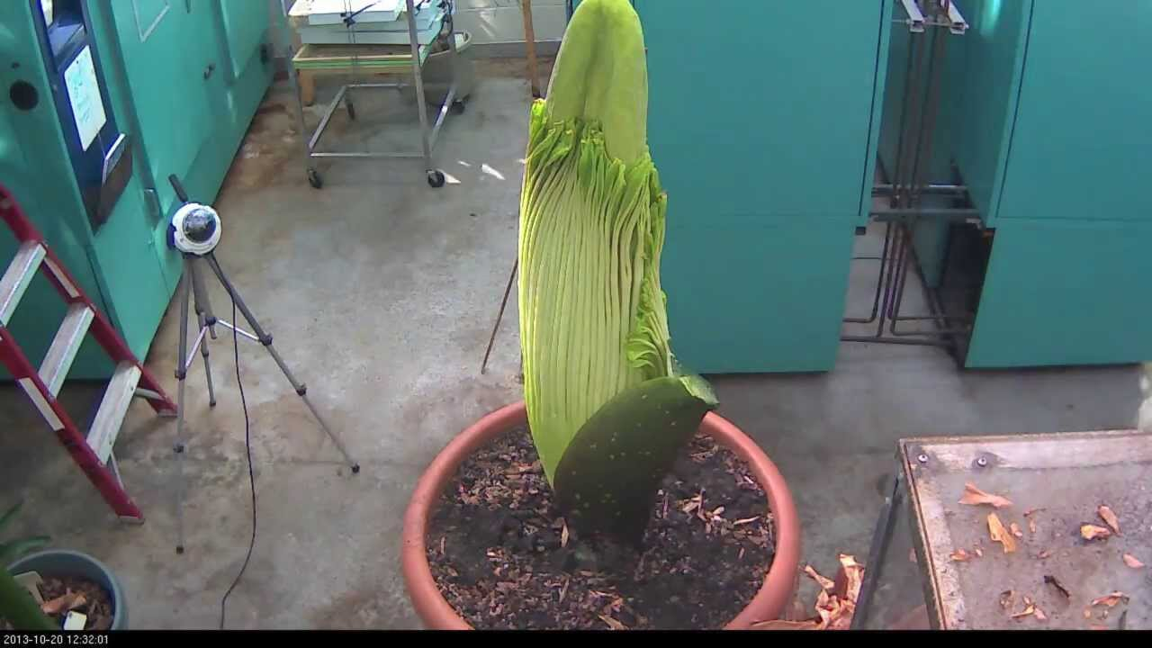 Perry the Corpse Flower Full Bloom Cycle