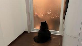 お風呂のドアで遊ぶ娘と猫 ノルウェージャンフォレストキャット Daughter and cat playing at the bath door
