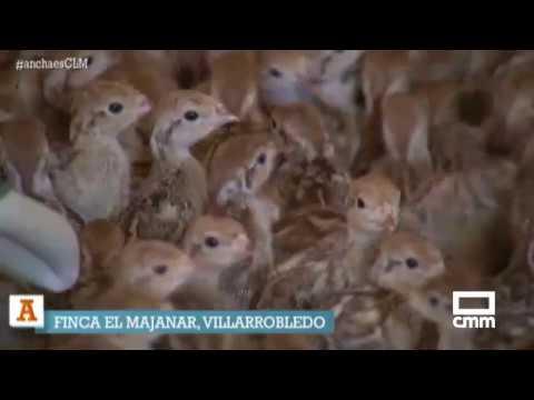 50.000 perdices nacen en una finca de Villarrobledo