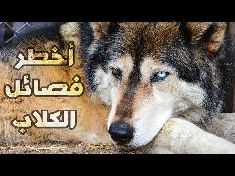 أخطر ١٠ فصائل كلاب في العالم