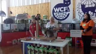 Норвежский лесной кот Cousteau On Fashion Peak, выставка кошек 16-17 сентября 2017