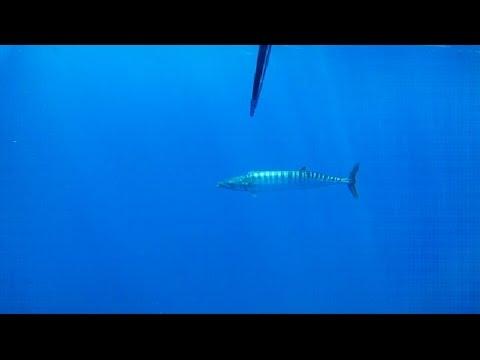 First year Freedive Spearfishing Wahoo in Antigua 2013