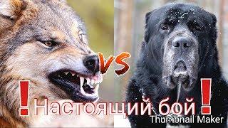 Волк против Алабая.Эпичная битва!!!Кто же сильнее? 2 часть!