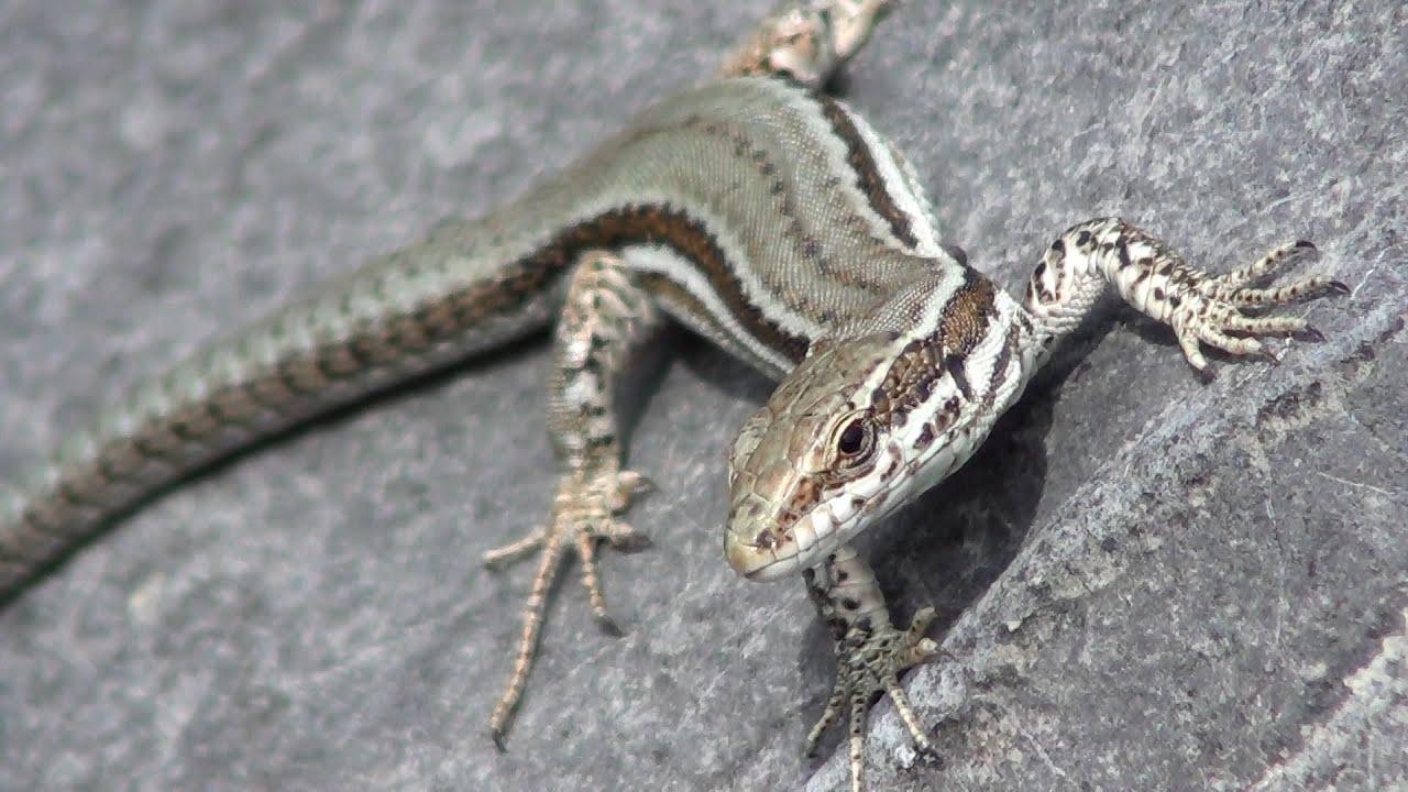 Lagartija ibérica (Podarcis hispanica, Iberian Wall Lizard) - YouTube