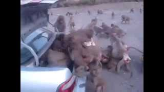 Mass Robbery of a Tribe of Hungry Monkeys on a Car