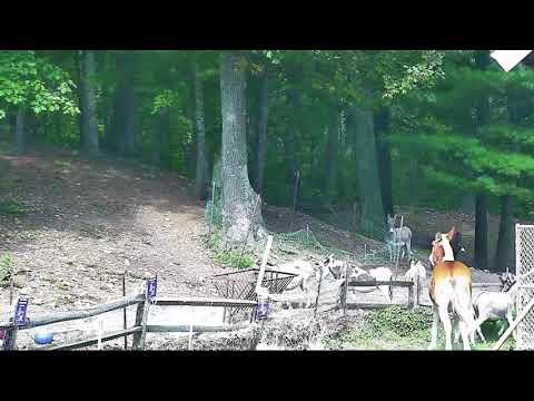 Donkey jumps fence b4 cp Lee gives the treats 1072017 44 sec time