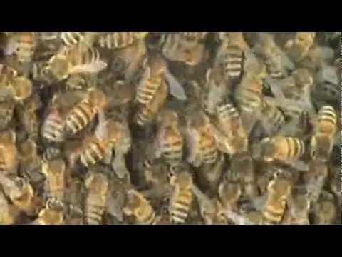 Trovato nido di api sul mio vignetto youtube - Nido api finestra ...