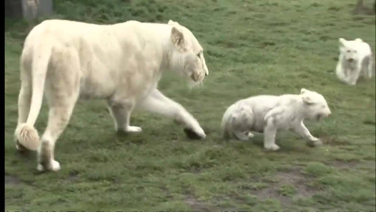 Public debut for cute rare white lion cubs
