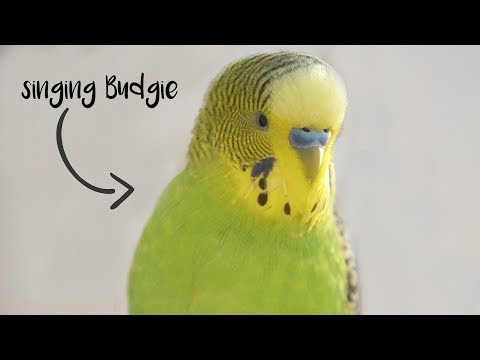 Singing Budgie  Happy song