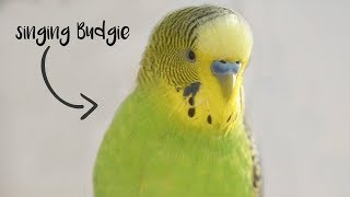 Singing Budgie - Happy song