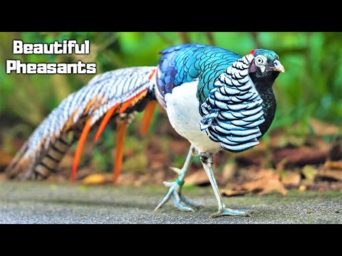 10 Most Beautiful Pheasants on Planet Earth
