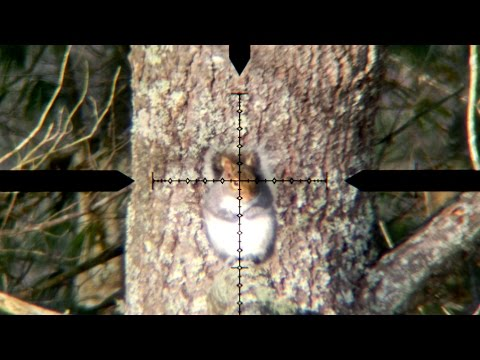 Airgun Winter Gray Squirrel Hunt