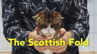 The Scottish Fold at a TICA Cat Show