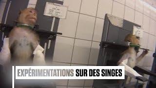 Une vidéo choc d'une association animaliste allemande montre des actes de torture sur des singes