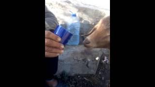 Chèvre au maroc qui boit du thé à la monthe