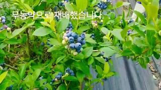 귀농 생활 블루베리 재배