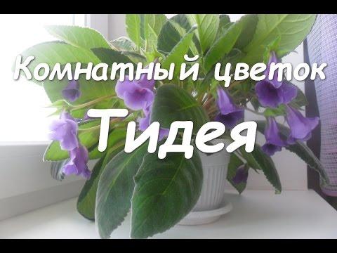 Комнатный цветок Тидея