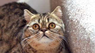 Порода кошек. Скоттиш страйт (шотландская прямоухая кошка)