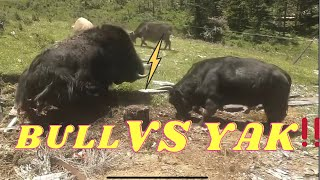 Wow 😱😱A bull can beat this big black Yak !!!!!!