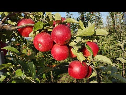 Яблоко CRIMSON CRISP® / Сорт яблока Кримсон Крисп