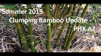 Summer 2019 Clumping Bamboo Update - PHX AZ