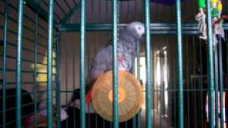 """My African Grey Parrot """" Joey """" sings Who Let the Dogs Out"""