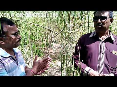 Visit to 100% Organic Moringa/Sahjan/Drumstick field in Gujrat,India.