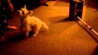 Westie Agility West Highland White Terrier Agility Jump