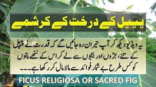 Benefits Of Peepal Tree For Hypothyroid, Constipation, Cough, Fever & Mardana Kamzori In Hindi Urdu