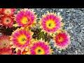 Cacti flowers , echinopsis , trichocereus , lobivia hybrids