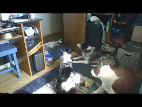 Curtain Dog Prank...FAIL