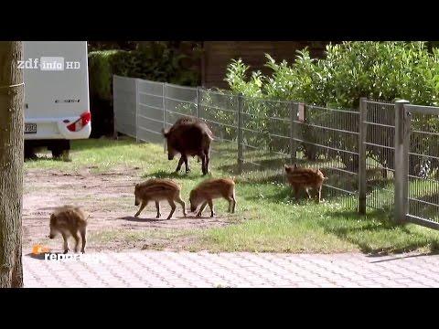 (Doku in HD) Wilde Tiere vor der Haustür - Waschbär, Wildschwein und andere Nachbarn