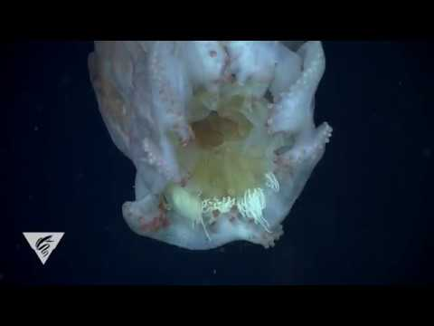 A sucker for jellyfish: The unexpected prey of the seven-arm octopus