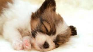 Dog Breed Papillon Set Of Pictures | Papillon Dogs
