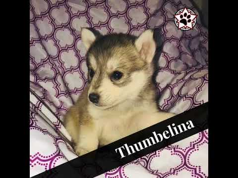 Thumbelina-www.minihuskies.net