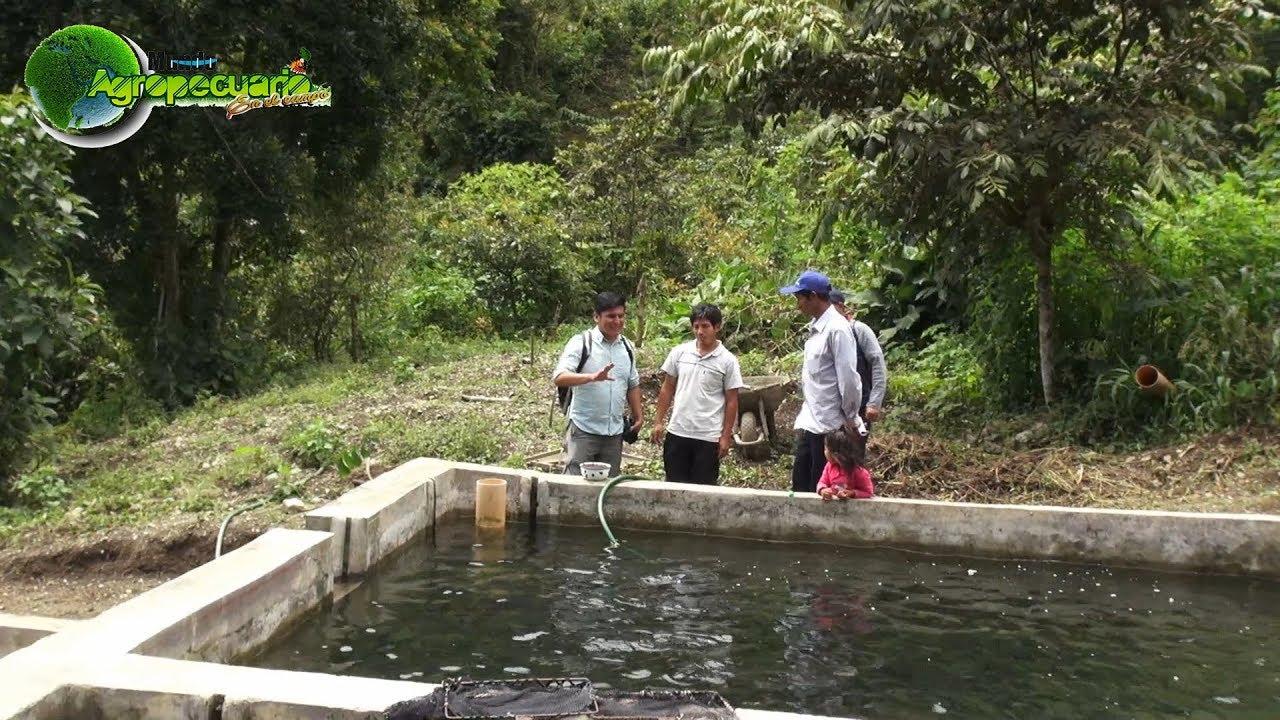 Programa agropecuario crianza de truchas youtube for Crianza de truchas en lagunas