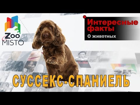 Суссекс-спаниель - Интересные факты о породе   Собака породы суссекс-спаниель