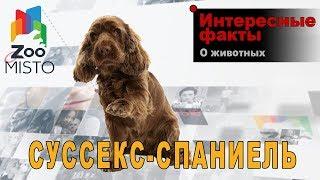 Суссекс-спаниель - Интересные факты о породе  | Собака породы суссекс-спаниель