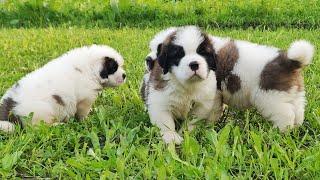 Saint Bernard Puppy For Sale ||  Is a Saint Bernard a good dog?