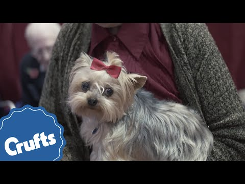Yorkshire Terrier | Crufts Breed Information